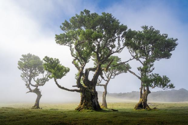 Madeira's Ancient Fanal Forest Filled With 500-Year-Old Trees